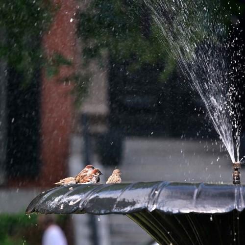 Nice day to take a bath with friends. Union Park Street, South End, Boston. #unionparkstreet #birdsofinstagram #birdsofafeather #southendboston