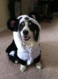 panda dog costume | Tumblr