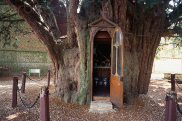 ornamentedbeing: Saint Anne Chapel in Yew Tree in Normandy Saint Anne Chapel lies within the hollow trunk of one of two 1,000-1,300 year old Yew trees in the cemetery at La Haye-de-Routot village in the Brotonne Regional Park in Normandy, France.