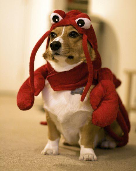 Corgi in lobster costume