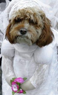 Pics For > Dogs In Wedding Dresses