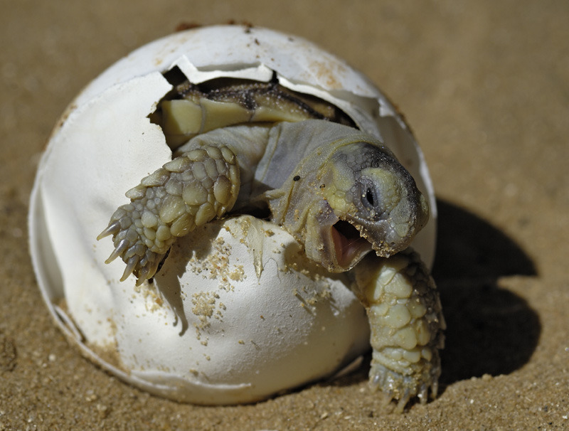 This is basically what our family tortoise looks like, minus the egg.