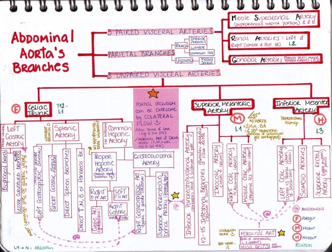 abdominal aorta diagram gefran pressure transducer wiring my notes for usmle  aortas branches