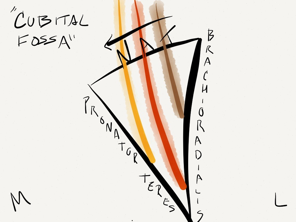 antecubital fossa diagram vauxhall corsa c stereo wiring anatomy by kenz  cubital is tan lateral to