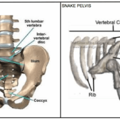 Snow Leopard Anatomy Diagram 2010 F150 Stereo Wiring Vegstilgial Structure The