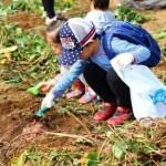 レインボーファミリー農園で「さつまいも堀り体験」。