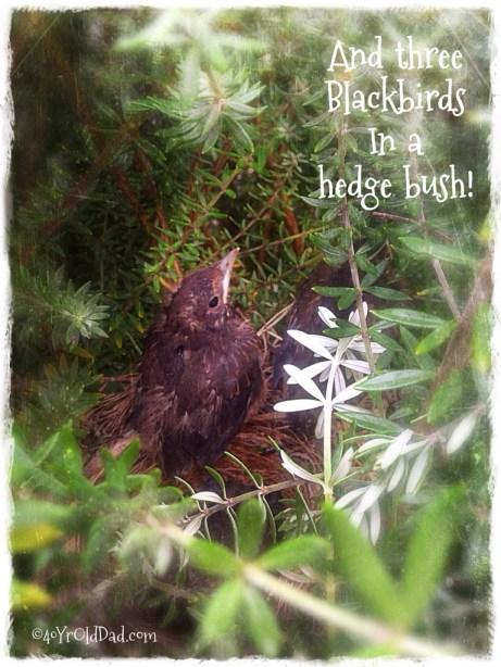Baby Blackbird nest
