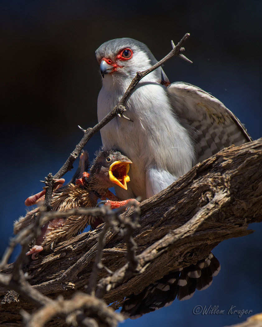 Pygmy Falcon with kill (Polihierax semitorquatus) by Willem Kruger