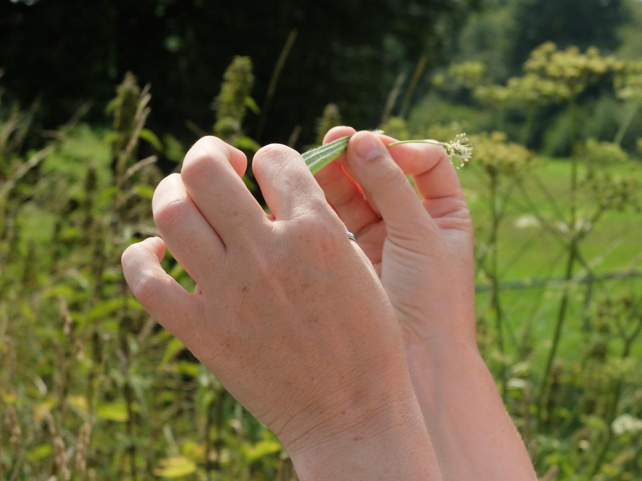 mangia minga // 'Wildkräuter: Foraging Wild Herbs' Spitzwegerich - ribwort
