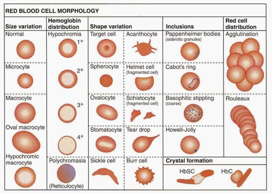 Target Cells And Acanthocytes