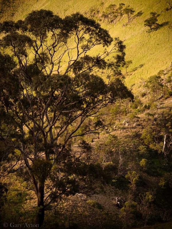 gorgeous light silhouetting a gum tree