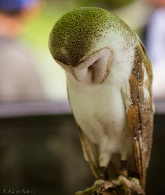 owl with Olympus 75mm f/1.8