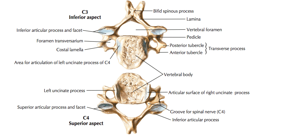 Typical cervical vertebrae and c7 the art of medicine conveniently the inferior surface of the cervical vertebrae have a bevelled surface or a surface that complements or fits into the superior surface of ccuart Image collections