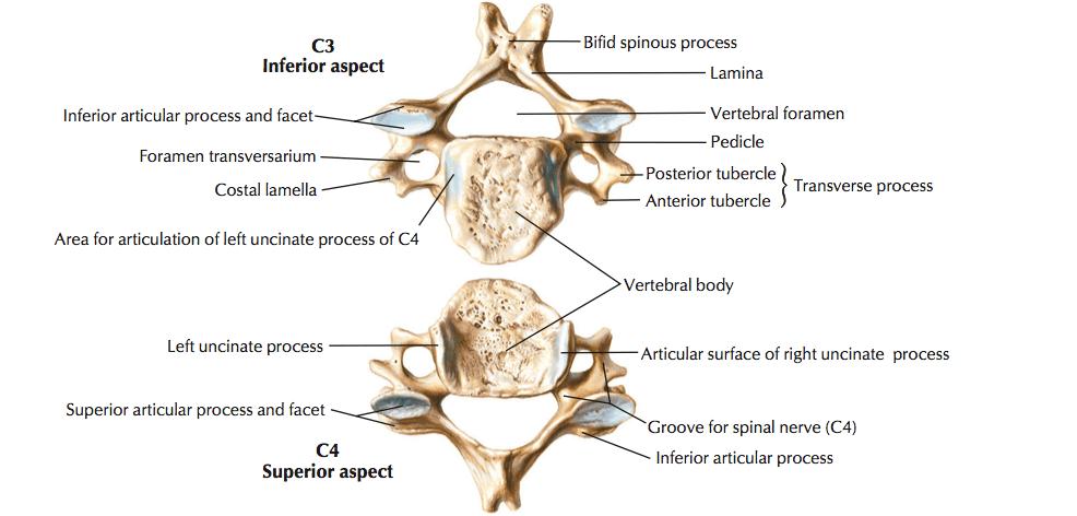 Typical Cervical Vertebrae and C7 – The Art Of Medicine