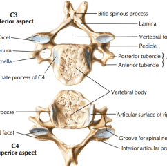 Cervical Vertebrae Diagram Am Receiver Block Of Radio Typical And C7 The Art Medicine Conveniently Inferior Surface Have A Bevelled Or That Complements Fits Into Superior