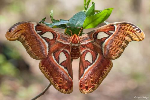 animals-animals-animals:</p> <p>Atlas Moth (by vipin baliga)
