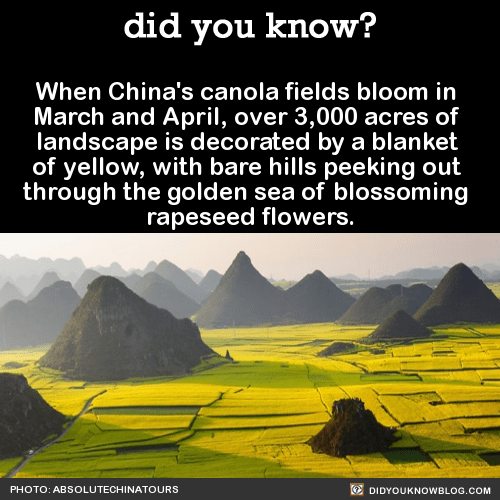 When China's canola fields bloom in March and April, over 3,000 acres of landscape is decorated by a blanket of yellow, with bare hills peeking out through the golden sea of blossoming rapeseed flowers. Source Source 2Photo:oddities123Photos: discoverchinatoursPhoto:chinatouradvisorsPhoto: ImgurPhoto:Chan Srithaweeporn