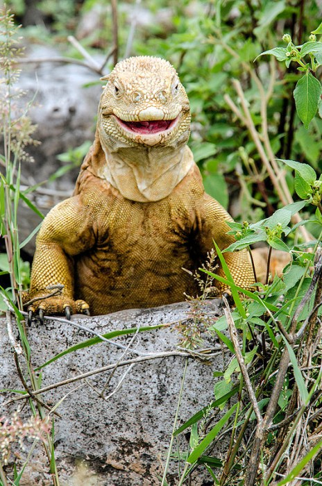 A heavyset iguana is peeking up from over a rock with a seemingly happy look its face.