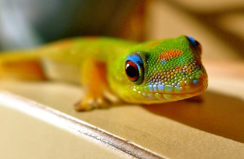 animals-animals-animals:</p> <p>Gold Dust Day Gecko (by LoveBigIsland)
