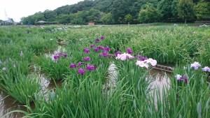 東村山の北山公園の菖蒲