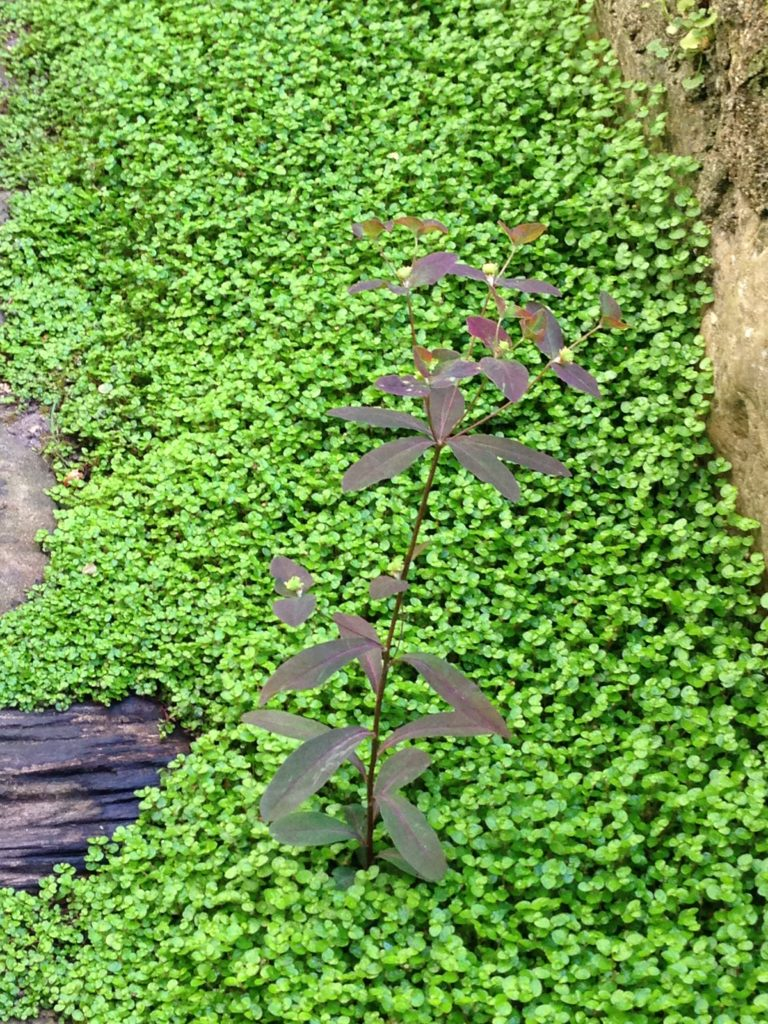Couvre sol Helxine soleirolii et Euphorbia polychroma Purpurea