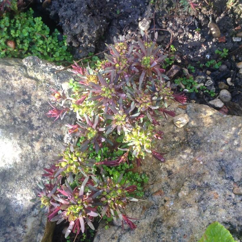 Euphorbia cyparissias (jeune)