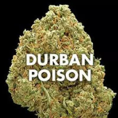 Durban Poison Marijuana Strain Review