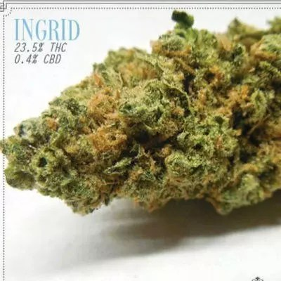Ingrid Marijuana Strain Review