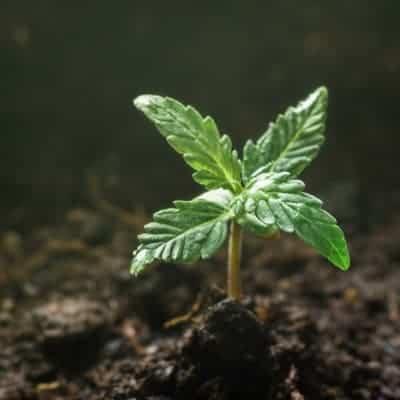 Marijuana Grow Kit Review- By Cash Crop 1