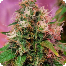 CBD OG Kush The Vault coupon code