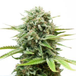 33% Off White Widow Fem Seeds High Supplies Coupon Code