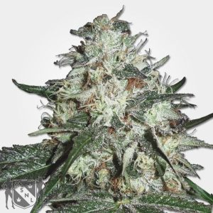 Cotton Candy Kush MSNL Coupon Code