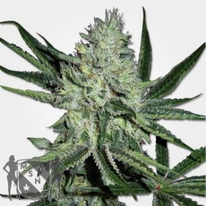White Widow Cannabis Seeds MSNL Promo Discount