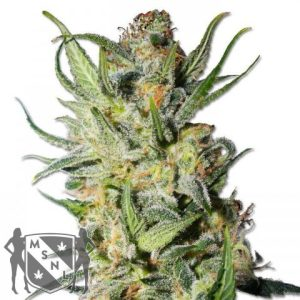 Thai Stick Cannabis Seeds MSNL Promo