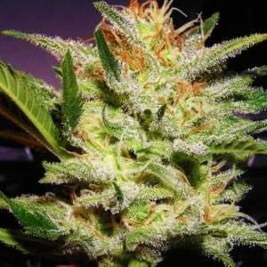 Amnesia Haze auto cannabis seeds Nirvana Shop discount