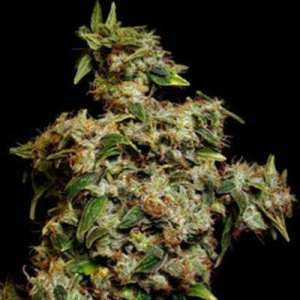 Amnesia Trance Auto Fem Marijuana Dutch Seeds Shop Coupon Code