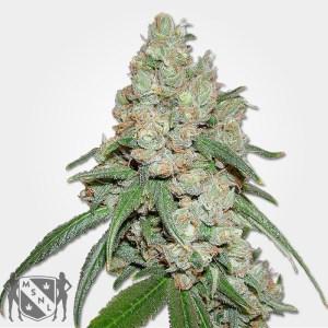 Buddha Cannabis Seeds MSNL Promo Discount