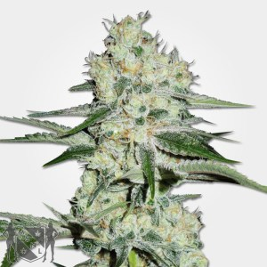 The Cheese Marijuana Seeds MSNL Coupon Code