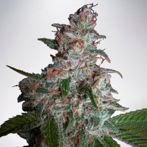 Northern Lights Cannabis Seeds Ministry of Cannabis Coupon Code
