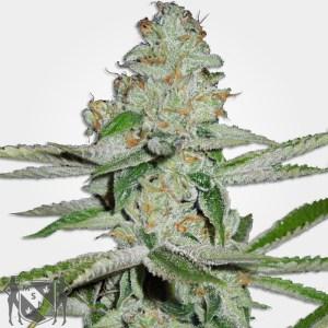 Amnesia Autofem Cannabis MSNL Seed Promotion