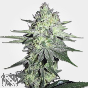 Chemdog Cannabis MSNL Seed Promotion