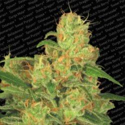 Auto Acid Cannabis Paradise Seeds Promo