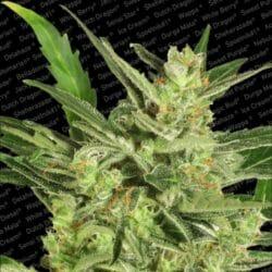 Automaria II Cannabis Paradise Seeds Promo