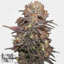 Grandaddy Purp Seeds MSNL Coupon Code Discount