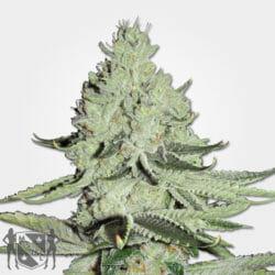 Ice Cannabis Seeds MSNL Promo Code Discount