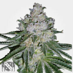 White Widow Cannabis Seeds MSNL Coupon Code