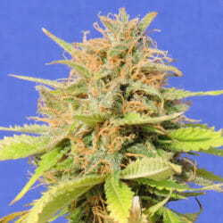 Free Girl Scout Cookies Marijuana Seed Original Seeds Store Promotion Sale