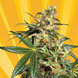Freedom Haze Cannabis Seeds Seed City Coupon Code Discount
