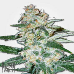 Cheesecake Cannabis Seeds MSNL Promo Discount