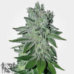 Headband OG Cannabis Seeds MSNL Promo Sale